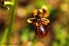 Ophrys Speculum (valerius25) Tags: sardegna flower macro canon flora sardinia bokeh digitalrebel fiore orchidea mandas 400d spontanea valerius25 ophrysspeculum valeriocaddeu
