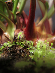 Feed Me (MacroMondays - Life is Hard) (duckinwales (now in Ipernity)) Tags: macro leaves theme monday sundew carnivorousplants pitcherplant drosera greenandred lifeishard macromondays canong11