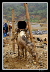 i ch ch i ch (Tran_Thaohien) Tags: people mountain landscape high vietnam ethnic sapa vitnam phongcnh conngi cnhpsapa
