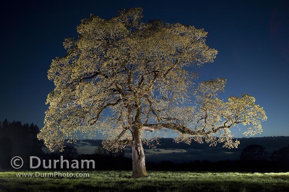 remnant oak tree