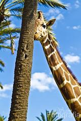Una jirafa timida (samcalero) Tags