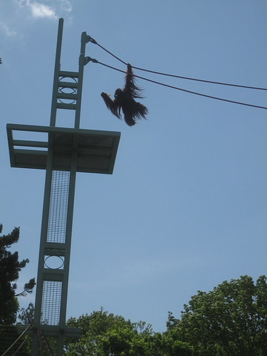 4/27/10-NatlZoo, Orangutan swinging along .