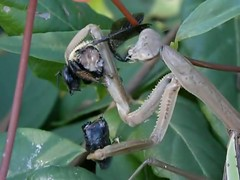 life of a mantis, death of a bee (dyoung1167) Tags: life macro green nature beautiful animals sex closeup dinner wow bug out mantis lunch death for nc video natural eating clayton awesome praying north tasty bugs creepy bee eat snack carolina hungry smithfield munch munchies prayingmantis johnston gruesome preying preyingmantis johnstoncounty