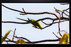 Birds_Animal (33) (My Pixel Magic) Tags: bird birds canon fly parrot canondslr indianparrot beautifulbird canonlens willife summerbird indianbird flyingbeauty birdofindia canon55250mmlens greenflyer canondsrl500d parrotofindia