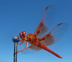 Flying Insect (gaymay) Tags: california gay desert dragonfly 10millionphotos