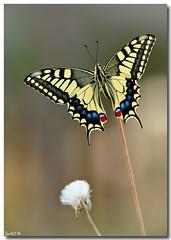 "Swallowtail -  Papilio  machaon #3 (Lior Dar) Tags: flower macro yellow butterfly israel aperture nikon branch dof bokeh flash jerusalem depthoffield getty blueribbonwinner coth polestar greatphotographers macroextreme macrolicious topshots beautifulphoto physis abigfave ourplanet ultimateshot flickraward macrophotosnolimits magicofaworldinmacro theunforgettablepictures buzznbugz macrolife theperfectphotographer ahqmacro multimegashot macrosdenaturaleza abovealltherest ""nikonflickraward"" grouptripod colorsofthesoul nikonsb900 thebestmacrophotos artofimages primemacro fabbow oneofmypics ""flickraward"" ""nikonflickrawardgold"" platinumbestshot platinumpeaceaward flickrunitedaward thebestofcengizsqueezeme2groups bestofisraelproject2009 swallowtailpapiliomachaon mygearandme nikonmicro200f4"