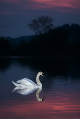 Swan's evening (StafbulCZ) Tags: lake swan twilight gettyimages canoneos40d 70200f4lusm speedlite430exii stafbulcz nohavicka jaroslavvondracek