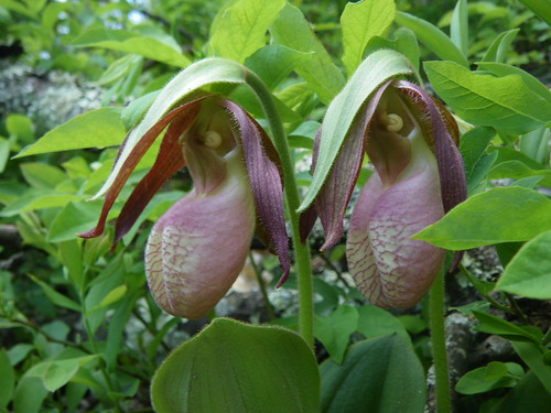 Cypripedium acaule, Pink Lady Slipper Orchids in wild