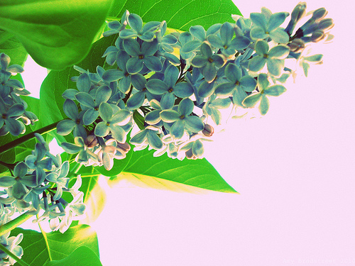 evening lilac