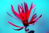 Witch-hazel:金缕梅 (love_child_kyoto) Tags: pink flower macro nature beautiful yellow garden spring nikon kyoto pretty gardening may hana 京都 花 1001nights 自然 庭 マクロ 公園 witchhazel earlyspring 春 早春 ピンク 五月 庭園 赤 満作 マンサク ニコン ネイチャー hamamelisjaponica japanesewitchhazel overtheexcellence ujibotanicalgarden naturethroughthelens 金缕梅 mimamorflowers アカバナマンサク 1001nightsmagiccity 宇治植物公園 fincarnata