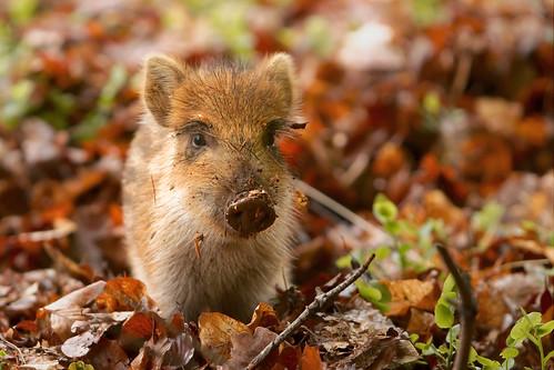 フリー写真素材, 動物, 哺乳類, イノシシ科, 猪・イノシシ,