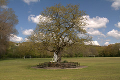 Old Oak (original) (Malcolm Alce-King) Tags: tree wales oak wfc pontyberem cfw gwendraethvalley