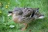 20.05.2008 Dinton Pastures 002 (PeaTJay) Tags: flowers plants nature birds gardens reserve ducks carlsbirdclub