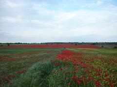 Campo del Urgell (targarina) Tags: flores plantas campo silvestre catalua lleida amapolas trrega campodeamapolas comarcadelurgell