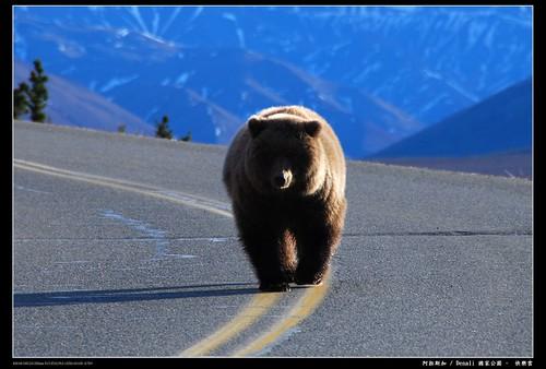阿拉斯加被不餓的熊追1