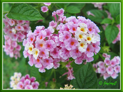 Lantana camara (lavender-pink and white flowers)
