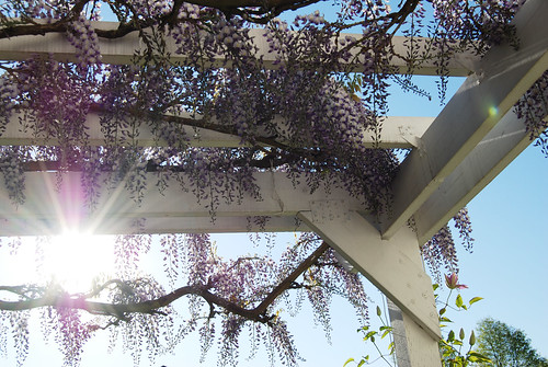my mom's wisteria