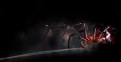 spider (gianfi) Tags: macro dark spider fear cloth legged filo ragno venom tela scuro paura gianfi velenosowire