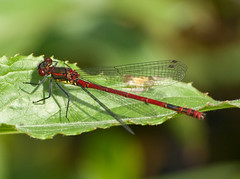 Large Red Damselfly - Pyrrhosoma nymphula (GregDouglas) Tags: macro nature water bug scotland fly leaf weed wildlife insects 70300mm dumfriesandgalloway e510