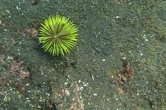 Green Sea Urchin (Lytechinus semituberculatus)