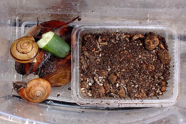 カタツムリの飼育法