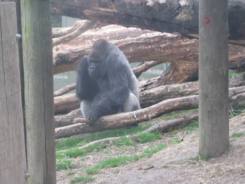 Gorilla at Dublin Zoo