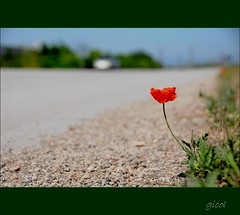 sometimes walks alone... (gicol) Tags: auto road italy flower fleur car weed focus strada italia alone dof flor via explore solo poppy lonely fiore frontpage puglia solitario coquelicot pdc fg bordo apulia amapola papavero foggia roadshoulder malerba theauthorsclub banchinanontransitabile