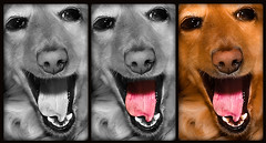 Trio Dachshund (CWhatPhotos) Tags: canon eos 450d rebel xsi slr digital camera picture pictur photos photo that have with paintshoppro adobe lightroom photox2 50mm lens pictures brown dachshund dachound dog pet animal hound compactcamera paintshopprophotox2 animals trio triple selective colour colourization black white big eyes doxie doxies dogs longhaired long haired weiner sausage wiener dackel teckle dachounds red redhaired coat paw nation cwhatphotos flickr
