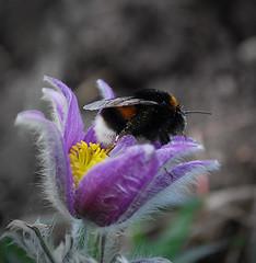 Bumble bee / Dongó (keriatti) Tags: flowers summer sky plants sun flower green nature clouds landscape ég növények virág zöld égbolt