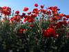 Amapolas y Margaritas (jacilluch) Tags: red flower macro fleur rojo flor blossoms rosella silvestre coquelicot papaver amapola cornpoppy papoula adormidera ababol mitxoleta flickrdiamond papuel googlemundial2010