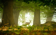 deep in the forest (andrew evans.) Tags: morning trees england mist nature misty fog fairytale forest sunrise landscape countryside kent spring woods nikon bokeh wildlife deer ethereal wonderland storybook magical 70200 f28 enchanted d3