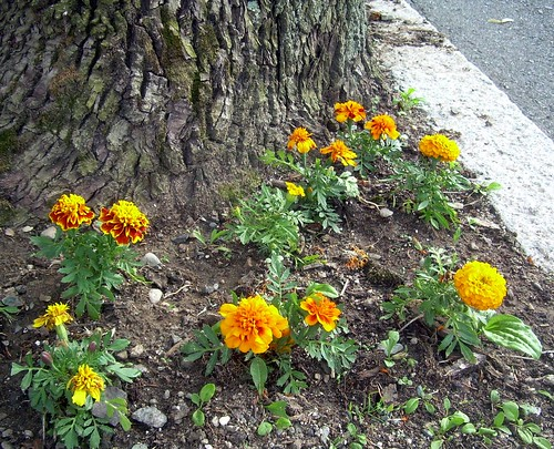 Marigolds Around Ash
