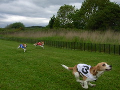 R0018674 (gw68) Tags: beagle club thistle whippet racing pedigree caledonian ctpwrc