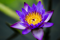Water lily (ddsnet) Tags: plant flower water gallery waterlily lily sony hsinchu taiwan aquatic   aquaticplants 900        sinpu hsinpu  lily water  tetragona water colorphotoaward    900 lily nymphaeatetragona    nymphaea plants nymphaeatetragon aquatic nymphaea tetragona photoshavebeeningallery plantsnymphaea tetragona