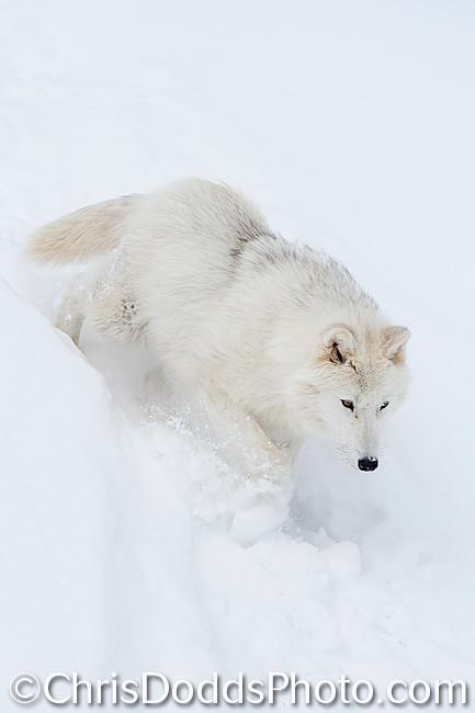 Arctic-Wolf-Canis-lupus-arctos-CDODDS  Z6C9211