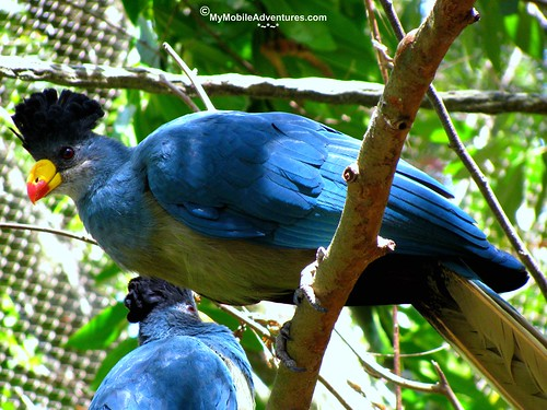 IMG_3065-WDW-DAK-great-blue-turaco
