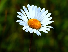 Roadside Daisy (murtphillips) Tags: flower june martin phillips 2010 murt herbertstown floraandfaunaoftheworld flickrflorescloseupmacros absolutelyperrrfect natureandpeopleinnature