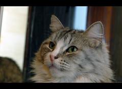 Billy Bob, again. Last of the series. (LinoPhilippe) Tags: cats cat kitten feline chat kitty gatos gato felino katze gatto katzen kot matou chatte chaton   hauskatze  felidi