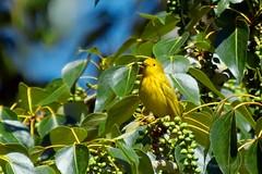 Yellow Warbler III