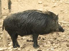 Jabalí hembra (Sus scrofa) 2010 (Javier Garcia Alarcon) Tags: jabalí piara jabalinos jabalinas jabalíes cerdosalvaje susscrofa sus scrofa