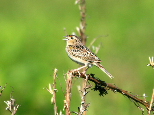 Grasshopper Sparrow 2-20100607