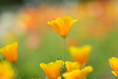 () / Eschscholtzia californica (nobuflickr) Tags: flower nature japan kyoto californianpoppy goldenpoppy eschscholtziacalifornica thekyotobotanicalgarden