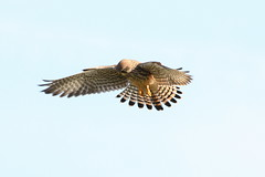 Kestral (Andy_Hartley) Tags: uk england bird nature birds animals europe wildlife canon450d sigma150500