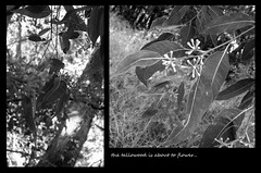 Tallowwood (YAZMDG (15,000 images)) Tags: bw black tree nature leaves sepia dark studio moss lowlight flora noir gloomy y noiretblanc australia tint nb seeds fungi sombre bark nsw ambient lichen eucalyptus blackout gree pods florafauna yaz obscure obscur melancholic absence shadowy floweringtree myrtaceae melancholie angiosperms northernrivers lacunae myrtales rosids tallowwood goonengerry floraofaustralia lacune australianspecies nswrfp yazminamicheledegaye yazmdg subtropicaltrees obscuritee ystudio