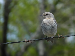 Mountain Bluebird (annkelliott) Tags: blue trees canada bird nature beautiful birds female digital fence square lumix photo image bokeh alberta barbedwire pointandshoot migratory perched bluebird backroads ornithology squarecrop avian frontview perching naturesfinest mountainbluebird colorimage beautyinnature sialiacurrucoides southernalberta singlebird beautifulexpression annkelliott southwestofcalgary birdshare fz35 panasonicdmcfz35 length1520cm68inches p1030443fz35