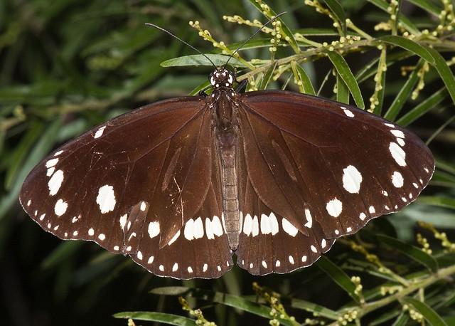 Butterfly on wattle tree.