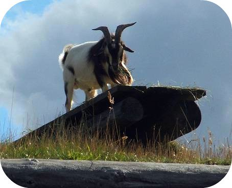 coombs goat on the roof