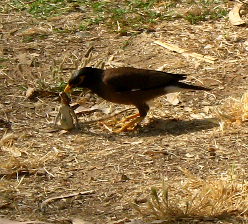 19-06-2010-mynah-eating-lizard