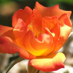 Flaming June (tuscany sunshine) Tags: orange rose petals flamingjune