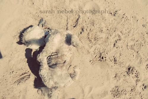 . herky loving the beach .